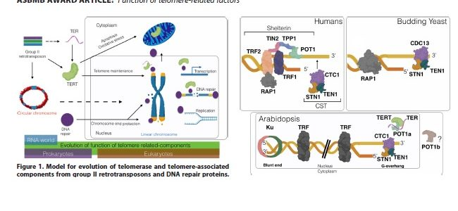 Back to the future: The intimate and evolving connection between telomere-related factors and genotoxic stress